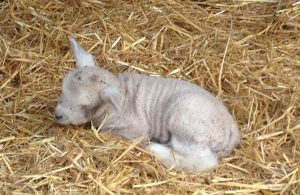 The first batch of lambs at Meanwood Valley
