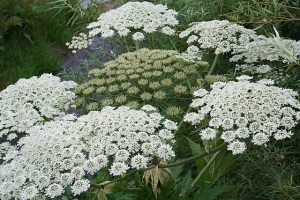 Photo of giant hogweed by Des Colhoun
