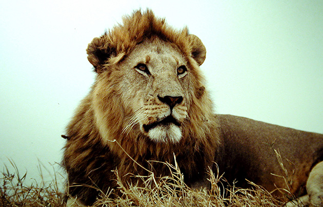 An old lion of the Serengeti. Wikimedia Commons.