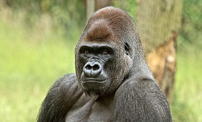 gorilla-image-zoo